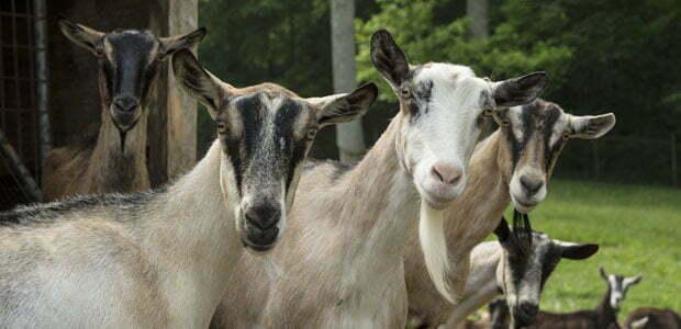 Goats at Oakmoon Farm