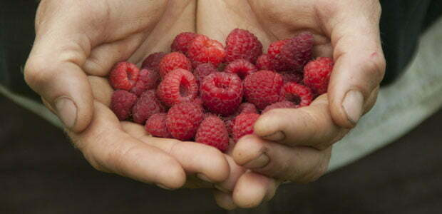 Offering a handful of raspberries